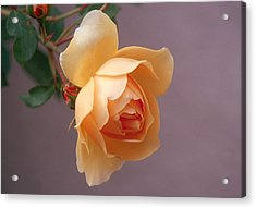 Rose 4 Acrylic Print by Andy Shomock