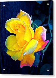 Acrylic Print featuring the photograph Rose 4 by Pamela Cooper