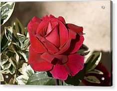 Rose 5 Acrylic Print by Andy Shomock