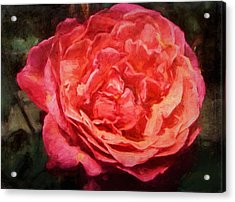 Rose 52 Acrylic Print by Pamela Cooper