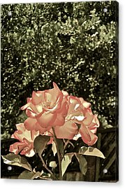 Rose 55 Acrylic Print by Pamela Cooper