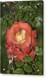 Rose 6 Acrylic Print by Andy Shomock