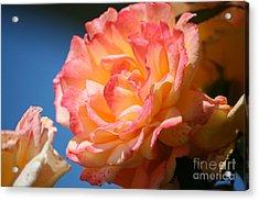 Rose Ablaze Acrylic Print by Jim Gillen