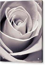 Rose Acrylic Print by Adam Romanowicz