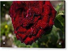 Rose And Dew Acrylic Print by Vishal Kumar