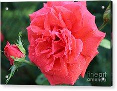 Rose And Rose Bud Acrylic Print by Judy Palkimas