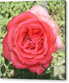 Rose At Clark Gardens Acrylic Print by John Telfer