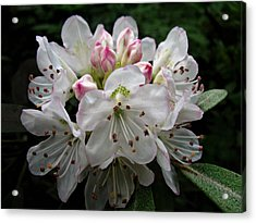 Rose Bay Rhododendron Acrylic Print by William Tanneberger