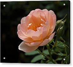 Rose Blush Acrylic Print by Rona Black
