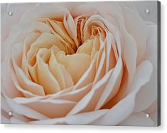 Acrylic Print featuring the photograph Rose Blush by Sabine Edrissi