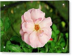 Rose 'botticelli' Acrylic Print