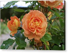 Rose Bowled Over (rosa 'tandolgnil') Acrylic Print by Neil Joy