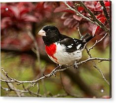 Rose- Breasted Grosbeak 1 Acrylic Print