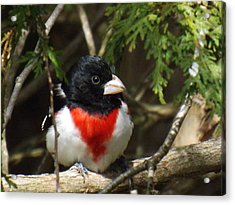 Rose Breasted Grosbeak Perched Acrylic Print