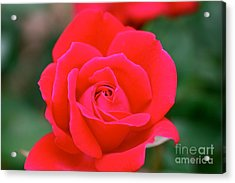 Rose Cascade Acrylic Print by Cathy Dee Janes