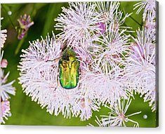 Rose Chafer On Meadow-rue Flowers Acrylic Print by Bob Gibbons