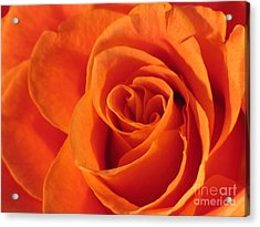 Acrylic Print featuring the photograph Rose Close Up by Art Photography