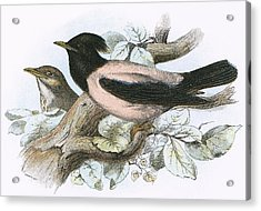 Rose Coloured Starling Acrylic Print by English School