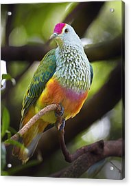 Rose-crowned Fruit-dove Australia Acrylic Print by Martin Willis