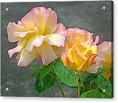 Rose Delight  Acrylic Print by Gracia  Molloy