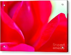 Rose Essence Study 1 Acrylic Print by Cathy Dee Janes