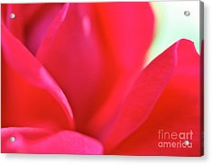 Rose Essence Study 2 Acrylic Print by Cathy Dee Janes