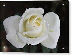 Rose Flower Acrylic Print by Amila Madushanka