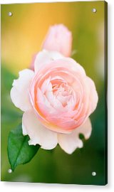 Rose Flowers (rosa Hybrid) Acrylic Print by Maria Mosolova/science Photo Library
