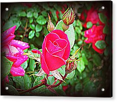 Rose Garden Centerpiece 2 Acrylic Print by Pamela Hyde Wilson