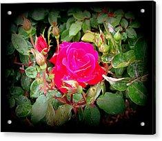 Rose Garden Centerpiece Acrylic Print by Pamela Hyde Wilson