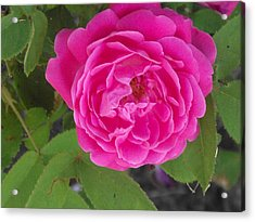 Rose Gem Acrylic Print by James Rishel