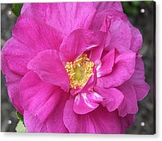Acrylic Print featuring the photograph Rose by Gene Cyr