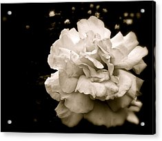 Rose I Acrylic Print by Kim Pippinger