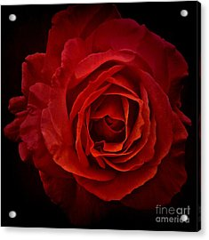 Rose In Red Acrylic Print