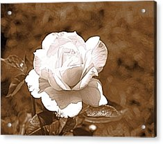 Rose In Sepia Acrylic Print by Victoria Sheldon