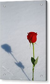 Rose In Snow Spring Approaches Acrylic Print by Dan Sproul