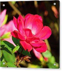 Rose Intensity Acrylic Print by Van Ness
