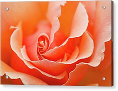 Rose 'just Joey' Creative Abstract Acrylic Print by Nigel Downer