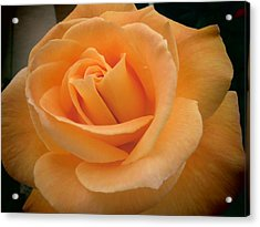 Rose Acrylic Print by Laurel Powell