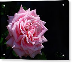 Rose Acrylic Print by Ludwig Keck