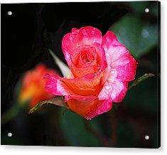 Rose Mardi Gras Acrylic Print