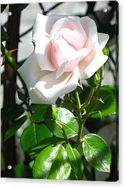 Rose Named Pearl Acrylic Print by Sonali Gangane