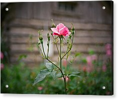Rose Of Independence Acrylic Print by Linda Unger