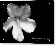 Rose Of Sharon Hibiscus Bw Acrylic Print