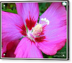 Acrylic Print featuring the photograph Rose Of Sharon Hibiscus by Patti Whitten