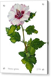 Rose Of Sharon - Hibiscus Syriacus Acrylic Print