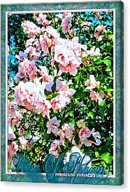Rose Of Sharon -hibiscus Syriacus Acrylic Print by Margaret Newcomb