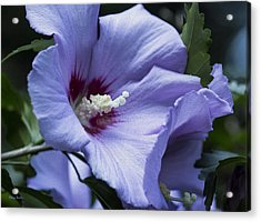 Rose Of Sharon Acrylic Print by Rebecca Samler