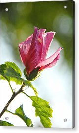 Acrylic Print featuring the photograph Rose Of Sharon by Susan D Moody