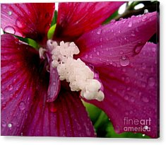 Rose Of Sharon Wet Acrylic Print